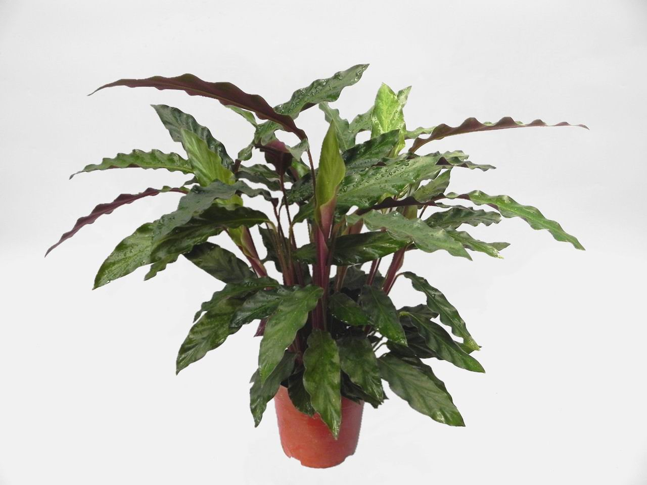 calathea rufibarba flower plant. Black Bedroom Furniture Sets. Home Design Ideas